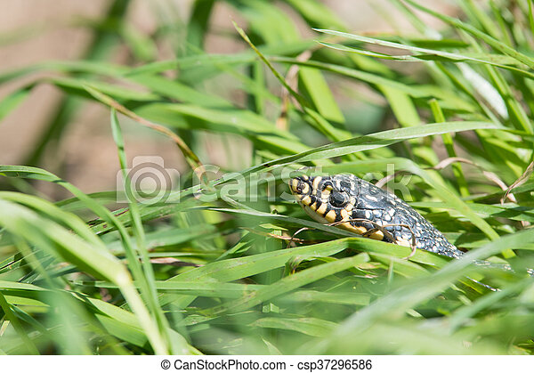 Snake in the grass - csp37296586