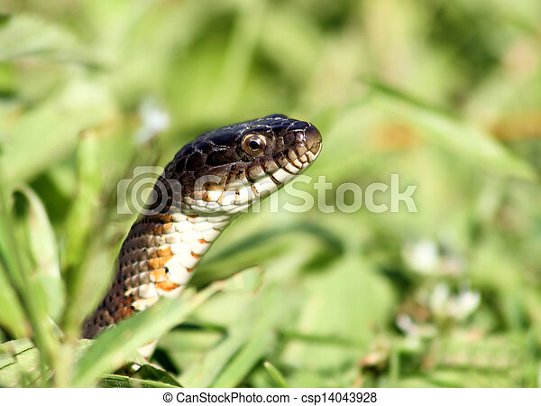 Snake In The Grass - csp14043928