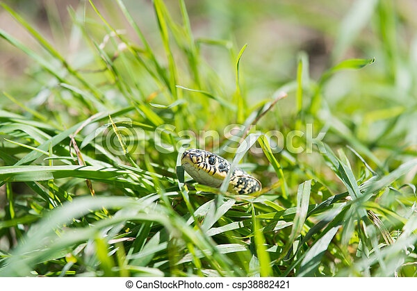 Snake in the grass - csp38882421