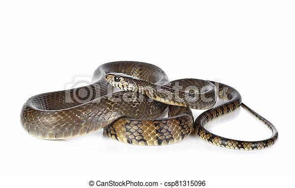 Snake isolated on white background - csp81315096