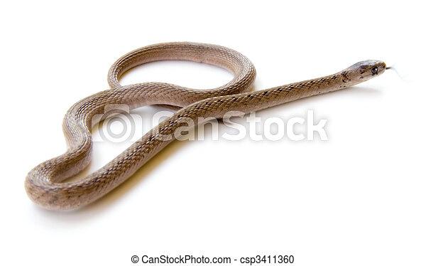 Snake with Tongue Flicking - csp3411360