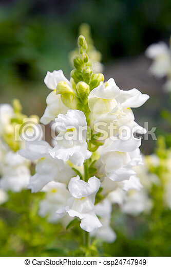 View on a white a white snapdragon flower in a garden stock photo snapdragon flower csp24747949 mightylinksfo