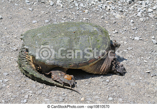 Snapping Turtle - csp10810570