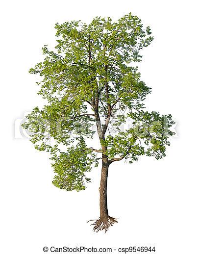 snitt, träd, isolerat, rötter - csp9546944
