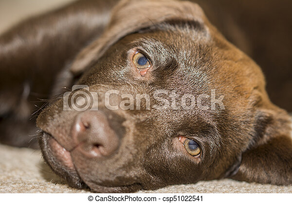 Snout view of a Chocolate Labrador puppy lying in the family room - csp51022541