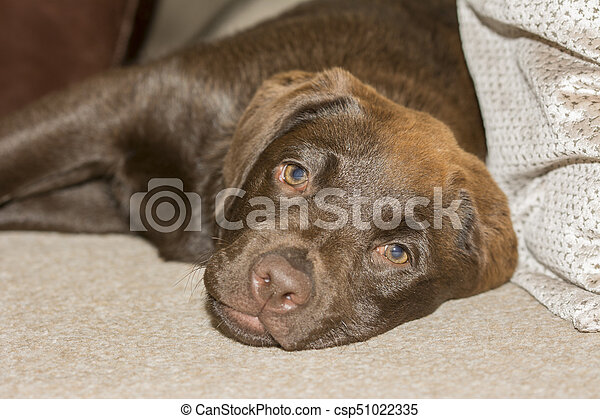 Snout view of a Chocolate Labrador puppy lying in the family room - csp51022335