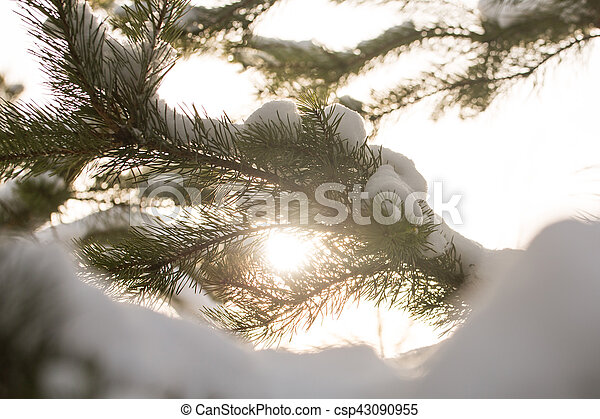snow-covered branches of the fir trees in Sunny weather, close-up - csp43090955