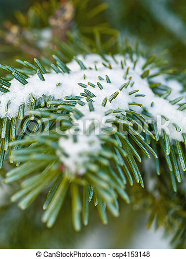 Snow Covered Pine Tree Branches Close Up - csp4153148