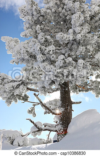 Snow covered tree on a sunny day - csp10386830