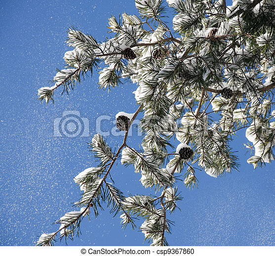 Snow falling from a pine branch - csp9367860