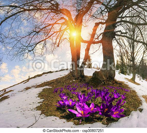 Snow flowers crocuses saffron geyfelya first spring flowers that snow flowers crocuses csp30807251 mightylinksfo