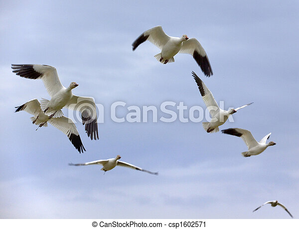 Snow Geese In Flight Close Up - csp1602571