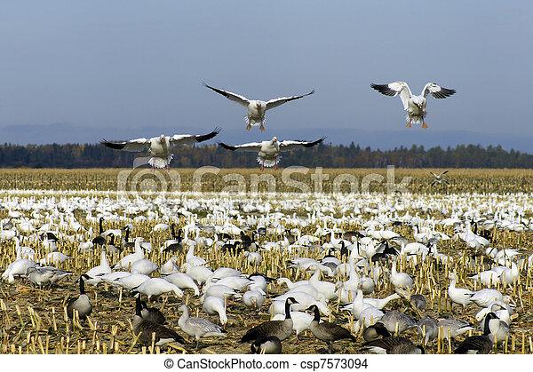 Snow geese landing - csp7573094