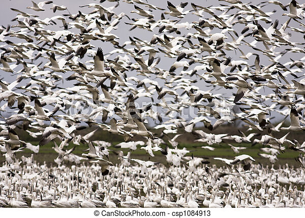 Snow Geese Migration - csp1084913