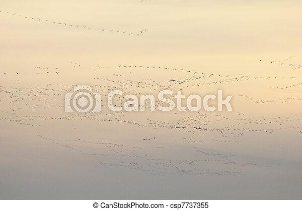 snow geese & tundra swans - csp7737355