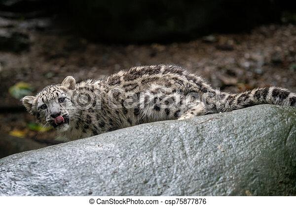 Snow leopard cub (Panthera uncia). Young snow leopard. - csp75877876