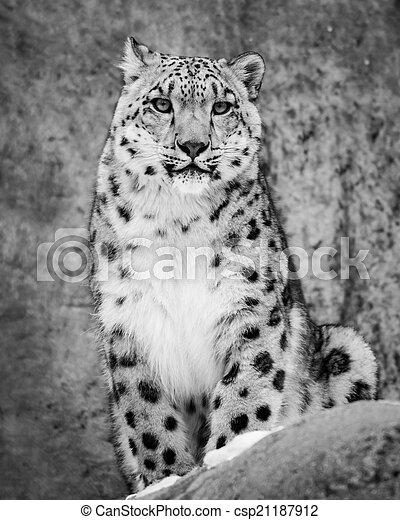 Snow Leopard II - csp21187912