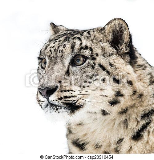 Snow Leopard III - csp20310454