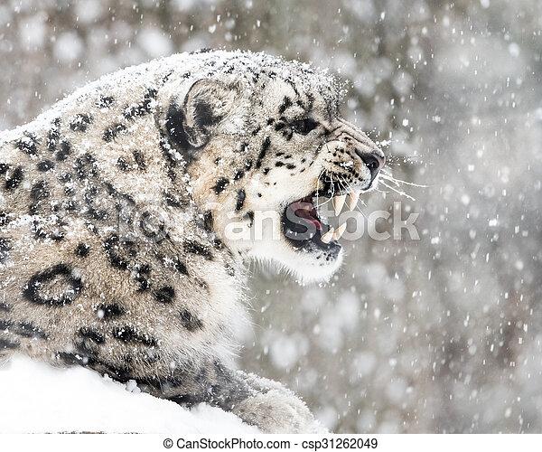 Snow Leopard In Snow Storm II - csp31262049