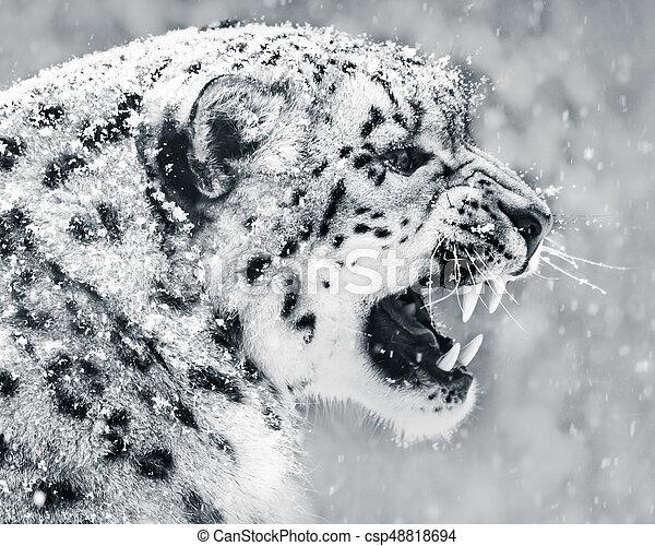 Snow Leopard In Snow Storm II - csp48818694