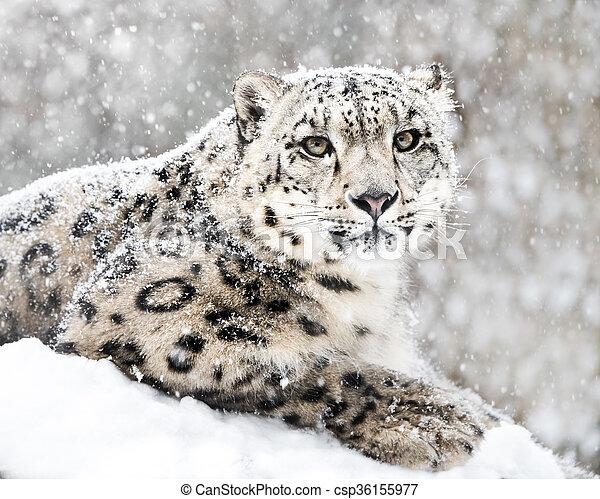 Snow Leopard In Snow Storm III - csp36155977