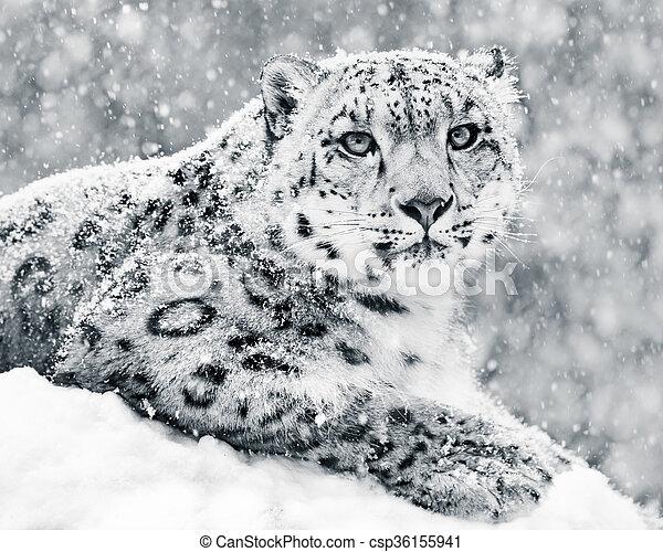 Snow Leopard In Snow Storm III - csp36155941