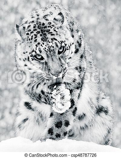Snow Leopard in Snow Storm IV BW - csp48787726