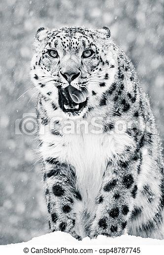 Snow Leopard in Snow Storm VII BW - csp48787745