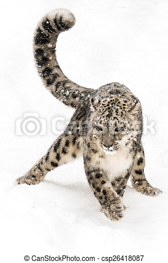 Snow Leopard on the Prowl IV - csp26418087