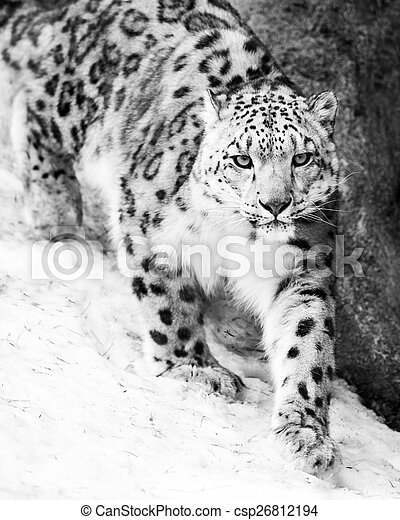 Snow Leopard on the Prowl VII - csp26812194