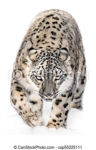 Snow Leopard on the Prowl XII - csp55225111