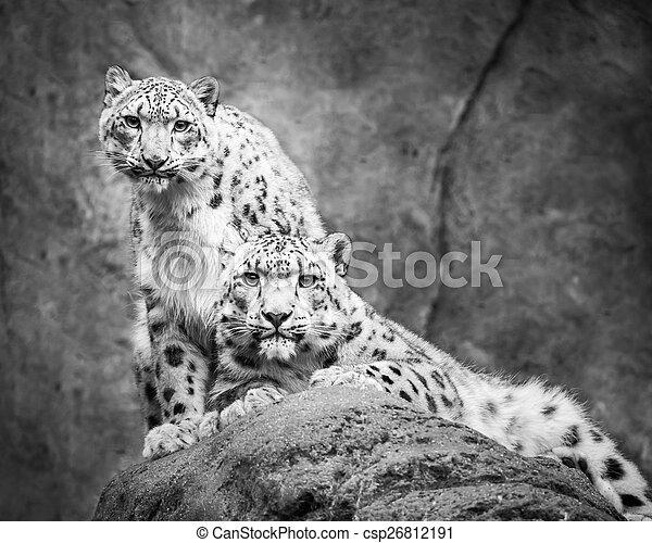 Snow Leopard Pair - csp26812191