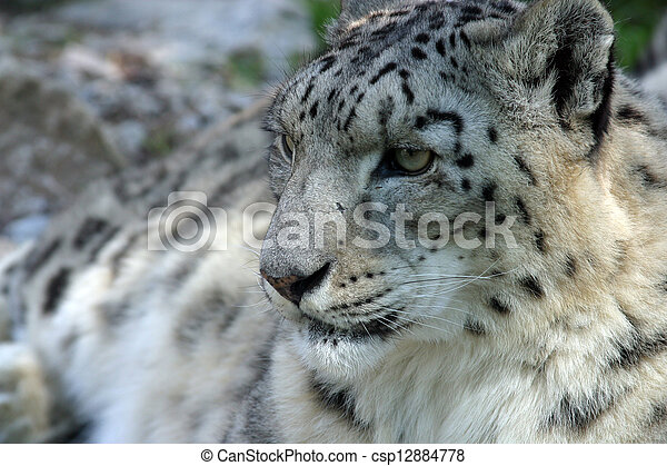 Snow Leopard - csp12884778