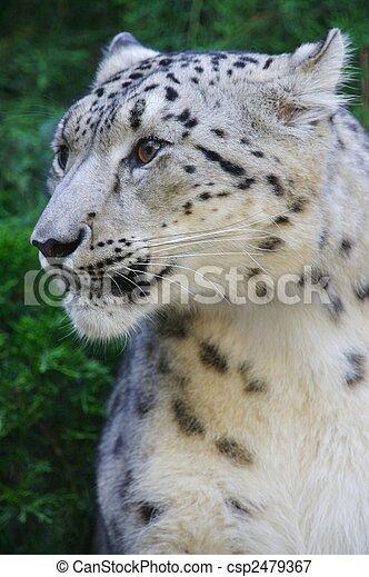 Snow Leopard - csp2479367