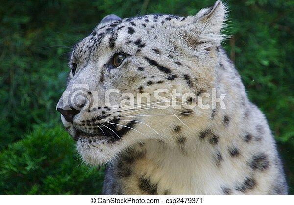 Snow Leopard - csp2479371