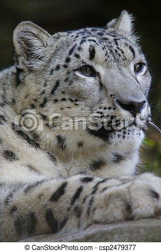Snow Leopard - csp2479377