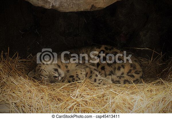 Snow leopard - csp45413411