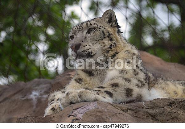 Snow Leopard - csp47949276
