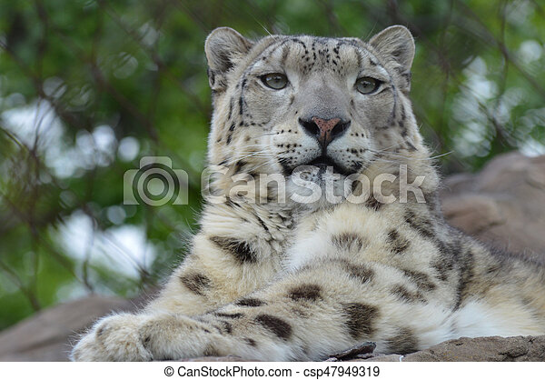 Snow Leopard - csp47949319