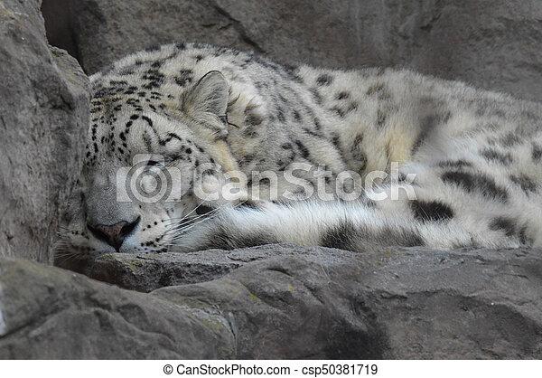 Snow Leopard - csp50381719