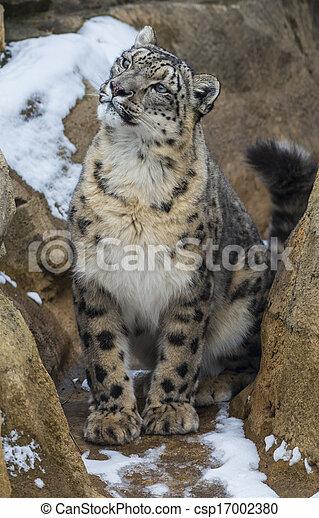 Snow Leopard - csp17002380
