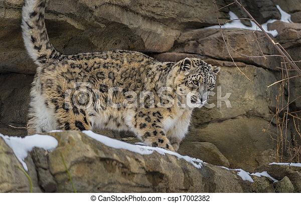 Snow Leopard - csp17002382