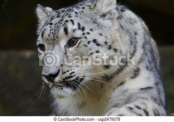 Snow Leopard - csp2479378