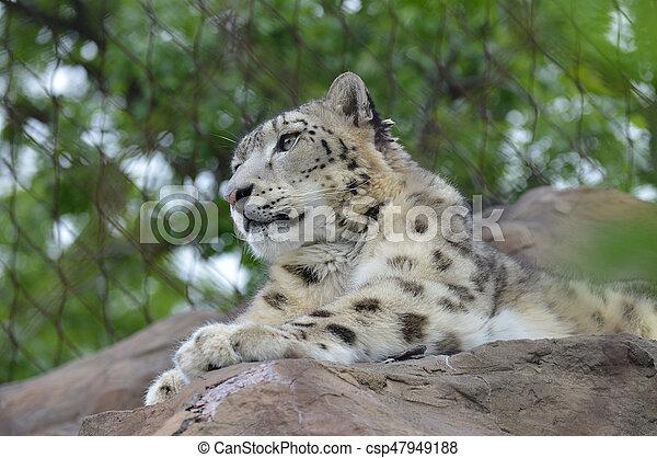 Snow Leopard - csp47949188