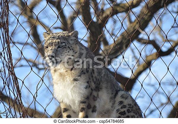 Snow Leopard - csp54784685
