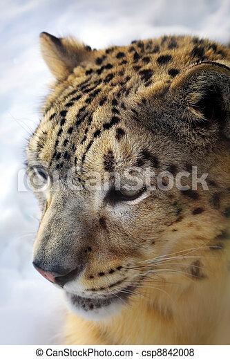 snow leopard - csp8842008