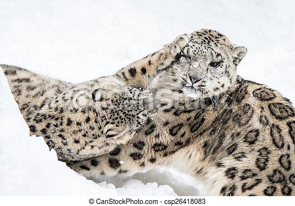 Snow Leopard Squabble - csp26418083