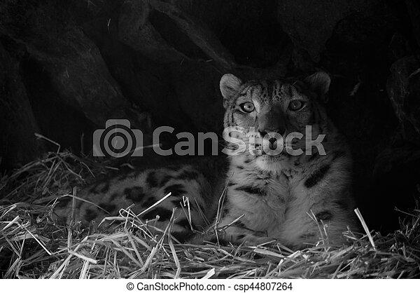 Snow Leopard - csp44807264