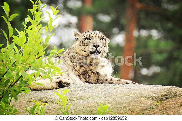 Snow leopard - csp12859652
