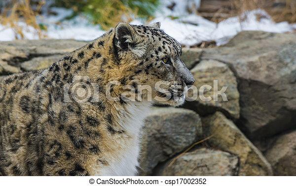 Snow Leopard - csp17002352
